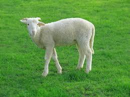 file lamb 09807 a jpg wikimedia commons
