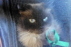 California How To Travel With A Cat images Jumping through hoops to get a cat on a plane chicago tribune