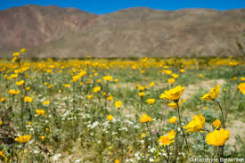 anza borrego wildflowers hurry to see anza borrego wildflowers before they re gone