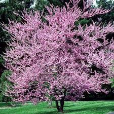 25 unique pink flowering trees ideas on flowering