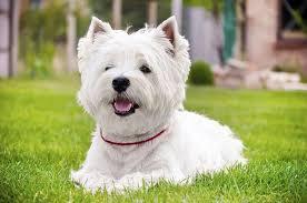 images of westie hair cuts westie terrier grooming