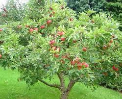 Backyard Fruit Trees Backyard Garden With Apple Fruit Tree Growing Garden Fruit Trees