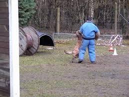 training a belgian sheepdog belgian sheepdog laekenois dog breed pictures 6