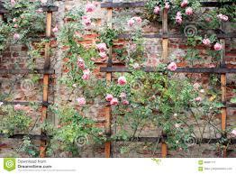 vintage climbing roses on a trellis stock photo image 88981717