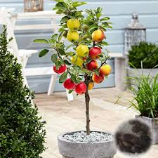 10 pcs bag bonsai apple tree seeds blooming plants easy grow