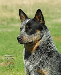 blue heeler x australian shepherd 115 best border collies and australian cattle dogs u003c3 images on