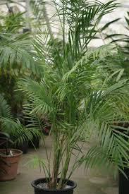 Common Tropical House Plants - palms as house plants culture of palm houseplants the best palms