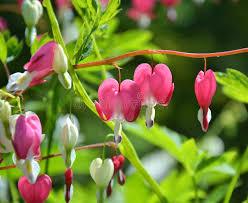 bleeding hearts flowers pink bleeding hearts flowers stock photo image of growth garden