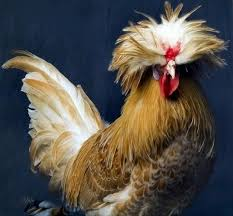 polish most beautiful fancy hens