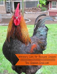 the chicken veterinary care for backyard chickens a