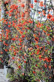 top 10 beautiful climbing plants for fences and walls plants