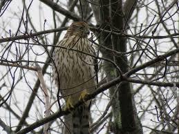 cooper u0027s hawk u2013 amy u0027s birds
