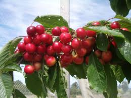 cherry western washington tree fruit alternative fruits