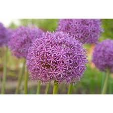 allium flowers allium flower flower bulbs garden plants flowers the home