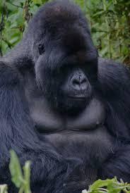 best 25 mountain gorilla ideas on pinterest baby gorillas