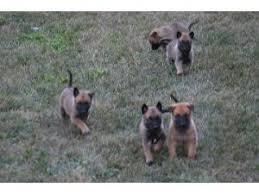 belgian shepherd 4 types belgian malinois dog breed information puppies u0026 pictures
