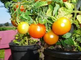 Vegetable Container Garden - vegetable container gardening vertical gardening