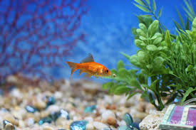 this is how menageries start a tale of two goldfish one vignette