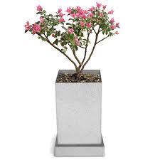 crepe myrtle bonsai specimen tree bonsai supplies uncommongoods