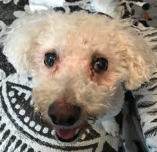 poodle x bichon frise view ad bichon frise dog for adoption michigan livonia