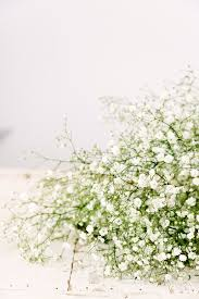 baby breath baby s breath gyp excellence utah wholesale flowers wright