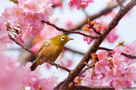 yellow bird on a cherry blossom tree branch 4k hd desktop