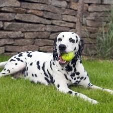 dalmatian puppy u0026 dalmatian breed information