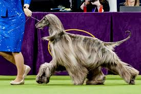 afghan hound westminster what do westminster dog show dogs eat the feast