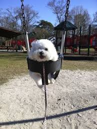 bichon frise cute bichon frise this has to be the cutest bichon with the cutest cut