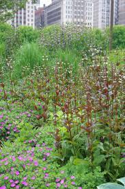 chicago native plants 109 best piet oudolf lurie garden chicago images on pinterest
