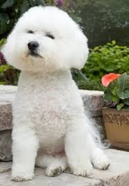 bichon frise good and bad bichon frise advice you can trust