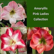 amaryllis flower amaryllis pink collection amaryllis bulbs at dicsount easy to