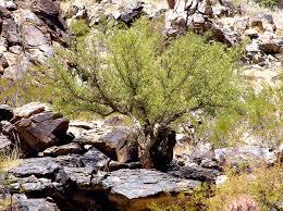 arizona native plants bursera microphylla on southern slope at south mountain municipal