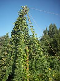 Hops On Trellis Building A Hop Garden