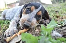 bluetick coonhound for sale in va view ad bluetick coonhound dog for adoption missouri fayette usa