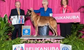 belgian shepherd standard best of breed akc malinois dog show google search belgian