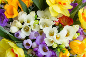 bunch of fresh spring freesea flowers close up stock photo