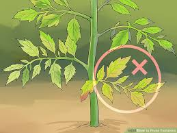 Types Of Patio Tomatoes How To Prune Tomatoes 9 Steps With Pictures Wikihow