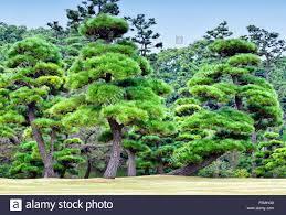c8 alamy comp f5mhg0 ornamental evergreen pine