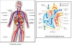 cardiovascular system diagram human anatomy chart