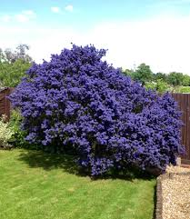 ceanothus flowering bush the hills are alive pinterest