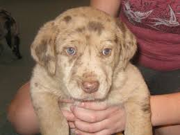 australian shepherd 7 weeks 19 best mixed breed dogs images on pinterest leopards