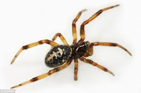 Black Widow Spiders Had A - false widow spider bite left 40 year old with inch deep weeping hole