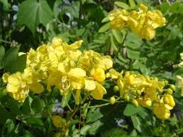 Yellow Flowering Trees - flowering trees for the landscape freundfloweringtrees com