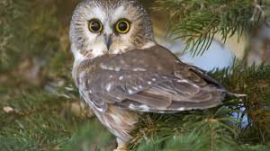 owlet in a pine tree wallpaper animal wallpapers 52529