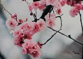 la cuisine de babeth la cuisine de babeth floraison des cerisiers et mochis