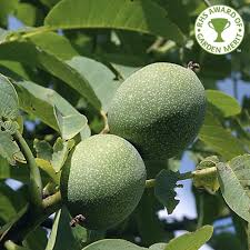 juglans regia common walnut tree buy walnut tree
