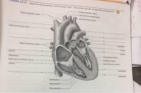 label this frontal section of the human heart the chegg com