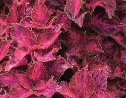 How To Grow Coleus Plants by How To Grow Coleus