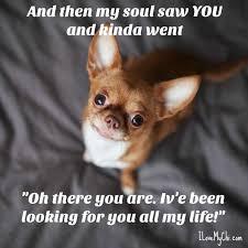 Chihuahua Meme - 20 heartwarming chihuahua memes